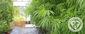 medical-cannabis-cultivation-center