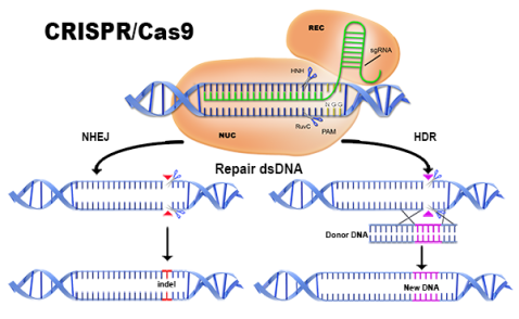 crispr-dual-editing-method
